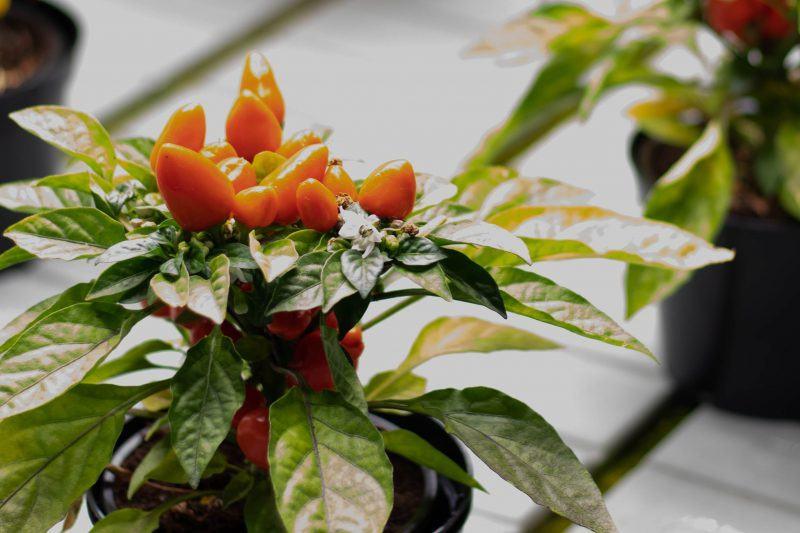 Pepers gekweekt door Smart Farmers - foto: Arno Meijnen